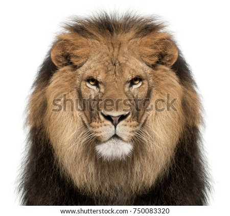 Close-up of lion, Panthera leo, 8 years old, in front of white background #750083320