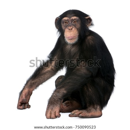 Young Chimpanzee, Simia troglodytes, 5 years old, sitting in front of white background #750090523