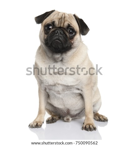 Pug sitting (18 months old) in front of a white background