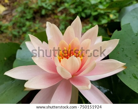 Closeup Pink lotus on green leaves background #750151924