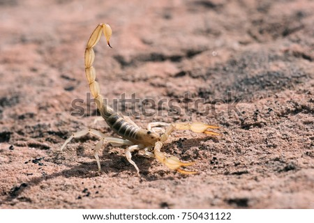 Hadrurus arizonensis, the giant desert hairy scorpion, giant hairy scorpion, or Arizona Desert hairy scorpion, is the largest scorpion in North America #750431122