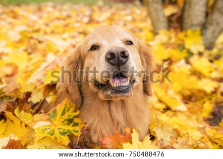 Golden Retriever dog in a pile of yellow Fall leaves #750488476