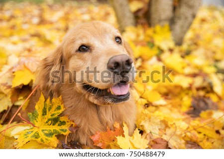 Golden Retriever dog in a pile of yellow Fall leaves #750488479