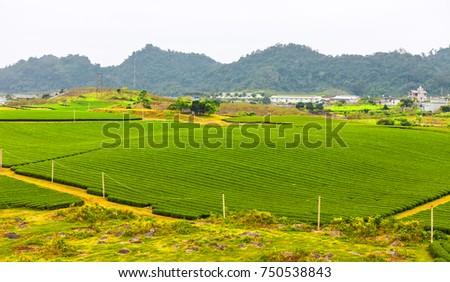 Green tea hills at Moc chau district #750538843