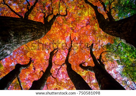 Colorful maple trees. #750581098