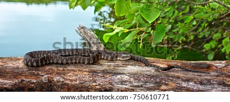 Northern Water Snake (Nerodia sipedon) basking over a lake in the Northern Highland-American Legion State Forest of Wisconsin Royalty-Free Stock Photo #750610771