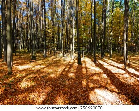 beautiful autumnal beech forest in sun #750690070