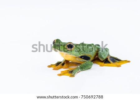 Black-webbed flying tree frog, Rhacophorus kio, on white background #750692788