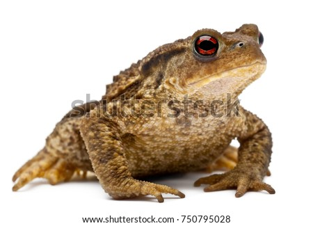 Common toad or European toad, Bufo bufo, in front of white background #750795028