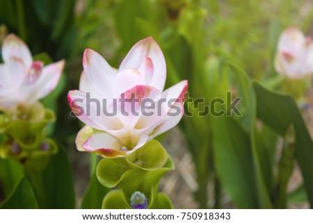 Curcuma Zanthorrhiza (Siam Tulip Curcuma Alismatifolia) Flower In The Nature With Soft Light. #750918343