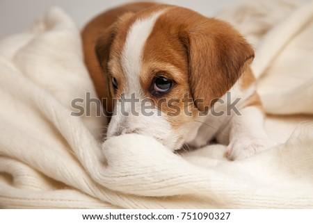 Jack Russell Terrier puppy lies on wood floor. #751090327