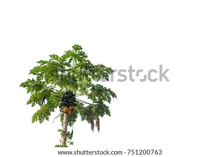 Papaya tree, tropical fruit, with bunch of ripe fruit on white background with copy space in Thailand. #751200763