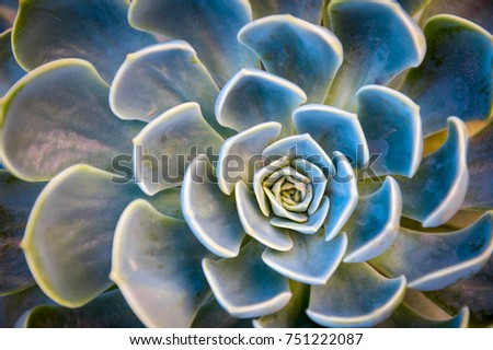 Abstract close-up of the colorful natural rosette pattern of a succulent plant, the Echeveria Capri, growing in the Mediterranean island of Capri, Italy