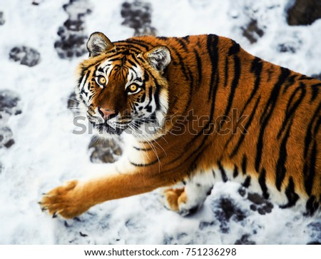 Beautiful Amur tiger on snow. Tiger in winter forest #751236298