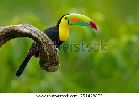 Keel-billed Toucan, Ramphastos sulfuratus, bird with big bill. Toucan sitting on the branch in the forest, green vegetation, Nicaragua. Nature travel in central America.