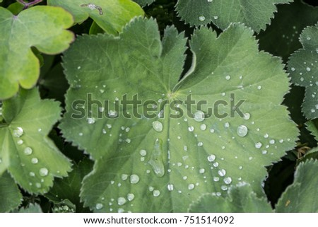 Lady's mantle with dew drops #751514092