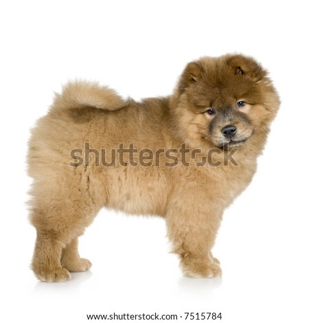 Chow chow (3 months) in front ofa white background #7515784