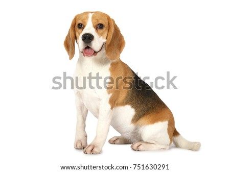 Purebred Beagle dog isolated on white background #751630291