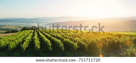 Extra wide panoramic shot of a summer vineyard shot at sunset #751711720