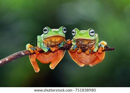 Tree frog, flying tree frog on branch #751838980
