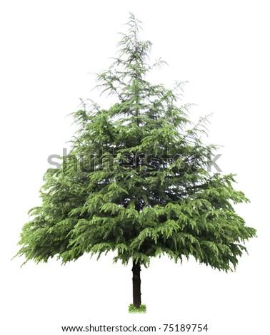 cedar,bare christmas tree isolated on white #75189754