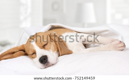 Small hound Beagle dog sleeping at home on the bed covered with a blanket  #752149459