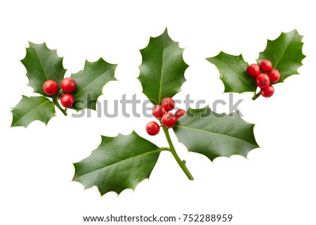 Christmas Holly With Red Berries. Traditional festive decoration. Holly branch with red berries on white. #752288959