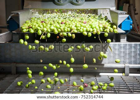 Just washed olives falling through a defoliator filter in the machine for milling #752314744