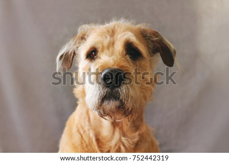 Portrait of a dog on a gray background. #752442319