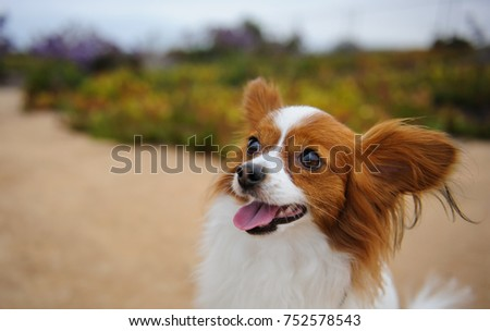 Papillon dog outdoor portrait  #752578543