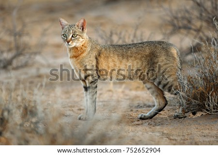 An African wild cat (Felis silvestris lybica), Kalahari desert, South Africa