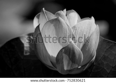 The blooming of pink lotus in Astrakhan region, river, summer. Russia wild nature. Black and white photography.