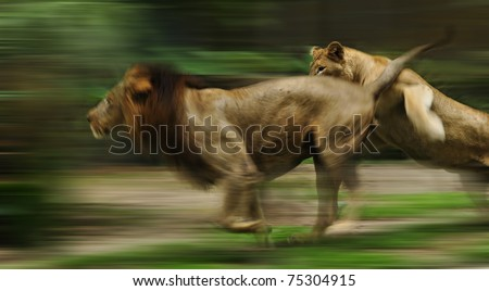 The slow motion of the running lions in forest #75304915