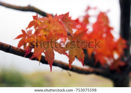Red maple leaves after rain on holliday #753075598