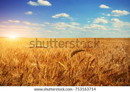 Wheat field against sun light under blue sky #753163714