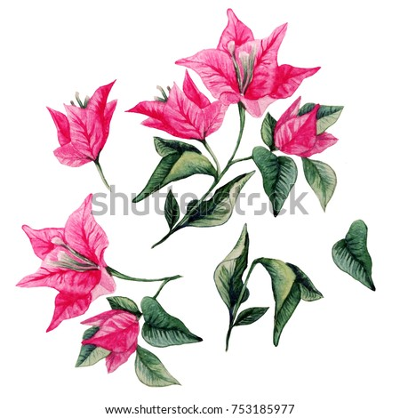 Bougainvillea flower bouqet isolated clipart. Watercolor artistic illustration