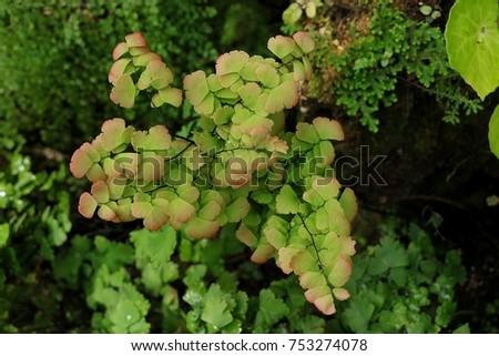 Maidenhair ferns in nature. #753274078