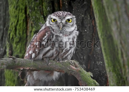 Very close up winter photo of female little owl ot the tree.