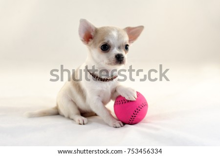 Cute short-haired white color miniature Chihuahua puppy with a tennis ball on white background. The puppy is 2 months old in the picture.