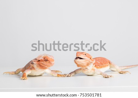 bearded dragons eating cricket in front of white background, agama lizard #753501781