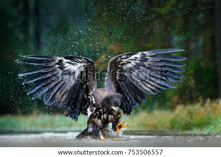 Eagle in flight above the dark lake. White-tailed Eagle, Haliaeetus albicilla, flying above the water, bird of prey with forest in background, animal in the nature habitat, wildlife, Norway. #753506557