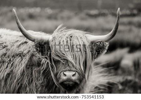 Scottish Highland cattle Royalty-Free Stock Photo #753541153