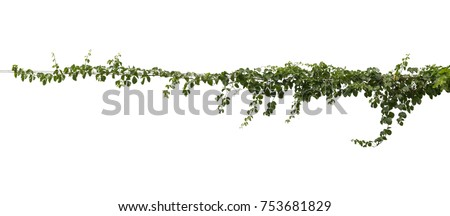 Plant tropical foliage vine, Ivy green hang isolated on white background, clipping path #753681829