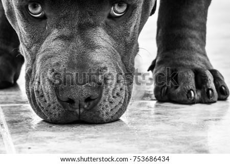 pitbull dog face