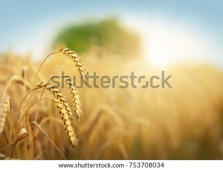 Golden wheat field and sun under blue sky #753708034