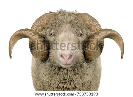 Arles Merino sheep, ram, 5 years old, standing in front of white background Royalty-Free Stock Photo #753750193