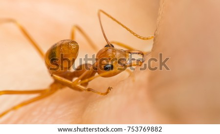 Macro of ant (Red Ant or Green Tree Ant) biting on the human skin for self-defense or self-protection from human