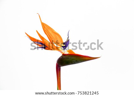 Beautiful Bird of Paradise flower (Strelitzia reginae) isolated in white background. #753821245