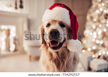 Merry Christmas and Happy New Year! Cheerful dog labrador is sitting in Santa Claus hat. Golden retriever is waiting for the holiday at home. #754292557