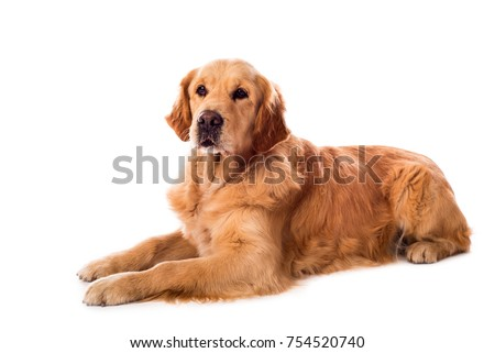 Golden Retriever dog isolated on a white background #754520740